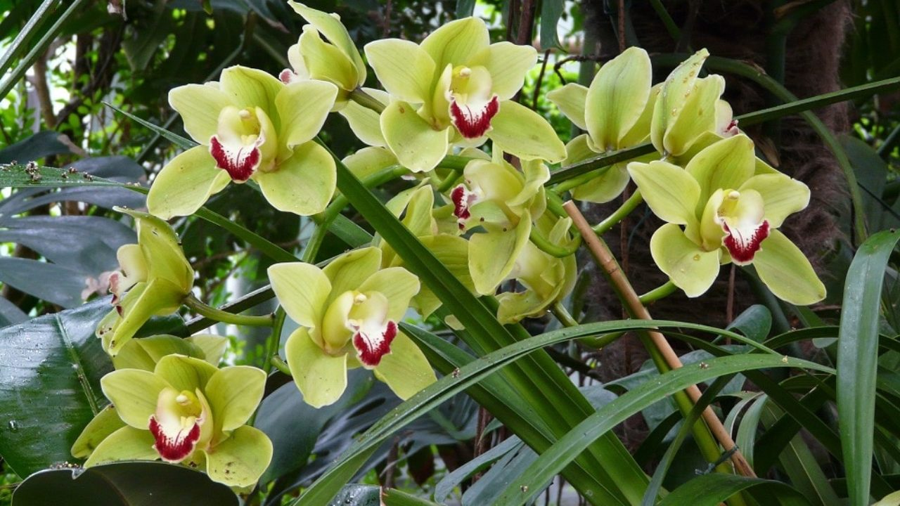Piante Epifite Da Appartamento.Come Coltivare Il Cymbidium Una Orchidea Facile Da Curare In Casa