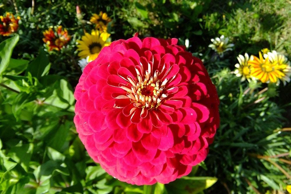 Coltivare Fiori.Coltivare Le Zinnie In Vaso Per Avere Fiori Da Giugno A Ottobre