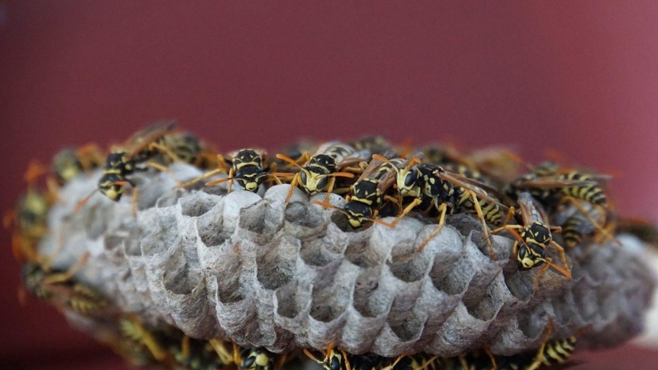 Repellente Naturale Per Vespe come allontanare le vespe dalla casa e dal giardino • fuori
