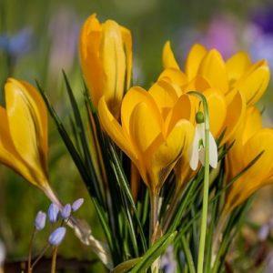 Come Coltivare I Crocus - Crocus Chrysantus