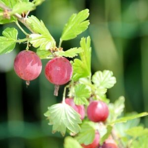 Coltivare Il Ribes - Ribes Uva-crispa