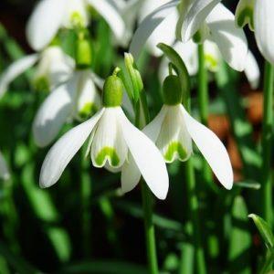 Piantare I Bulbi - Galanthus