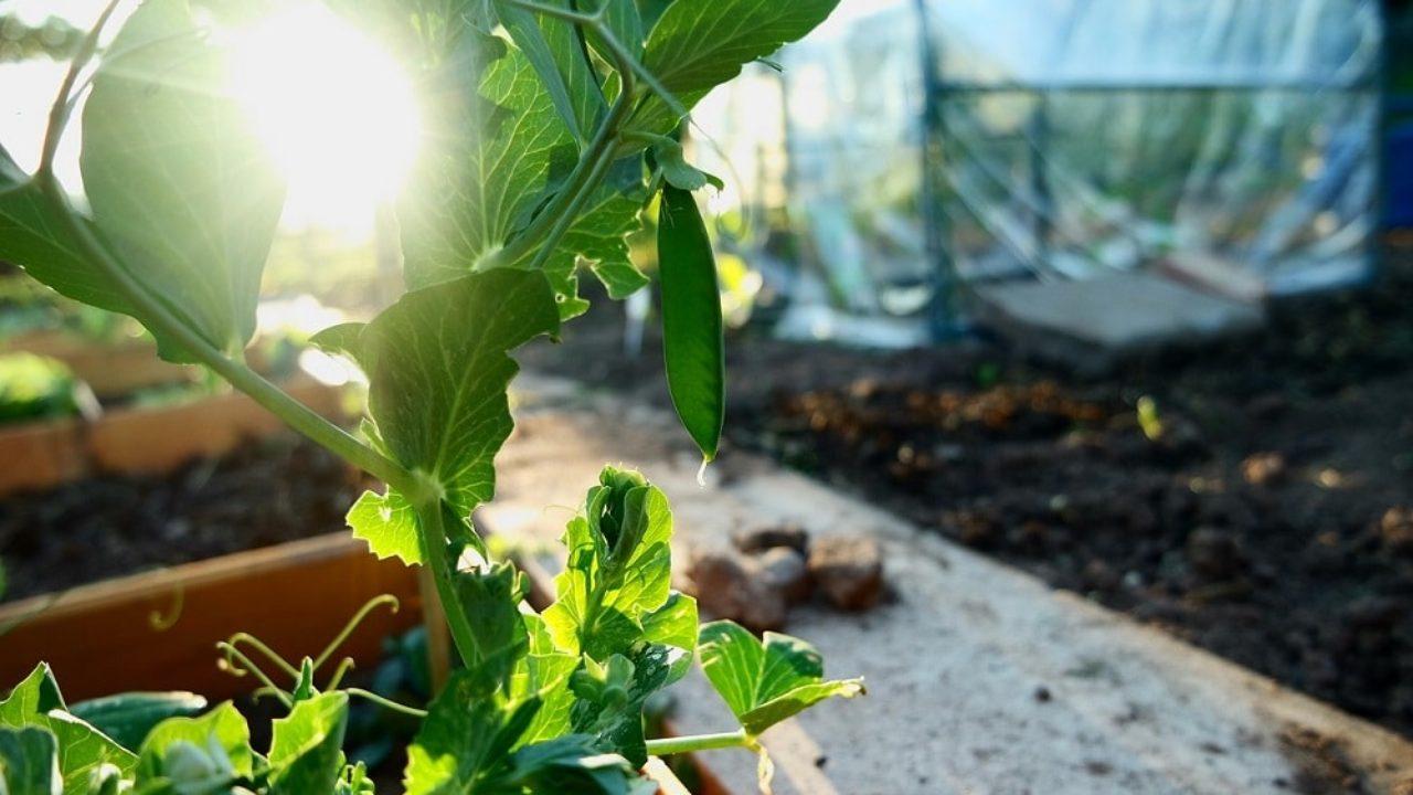 Coltivare Piselli In Vaso come coltivare i piselli tutto l'anno • fuori di verde