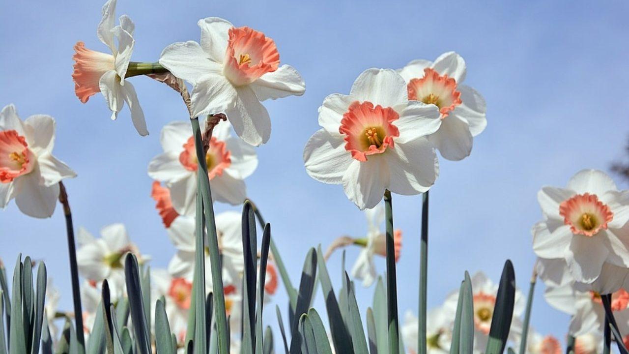 Quali Bulbi Piantare In Primavera come coltivare il narciso: il bulbo da piantare in autunno