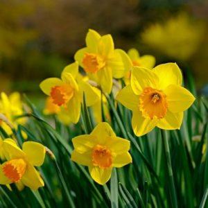 Coltivare Il Narciso - Narcissus Jonquilla