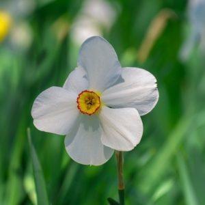 Coltivare Il Narciso - Narcissus Poeticus