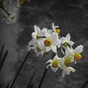 Coltivare Il Narciso - Narcissus Tazella