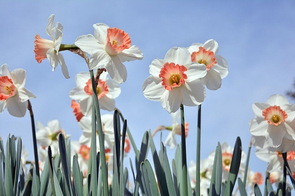 coltivare il Narciso