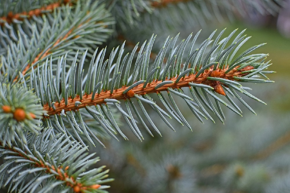 coltivare gli alberi di Natale dopo le feste