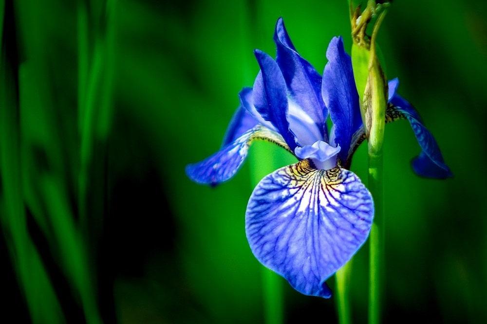 coltivare gli Iris in vaso