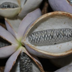 Coltivare La Akebia