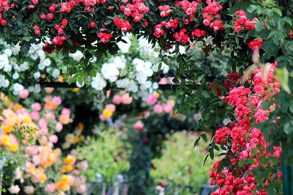 eliminare gli afidi delle Rose