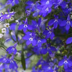 Piante Per Un Terrazzo Fiorito - Lobelia