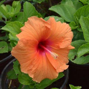 Piante Con Una Lunga Fioritura - Hibiscus Rosa-sinensis