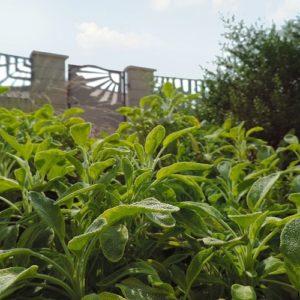 Piante Per Il Benessere - Salvia Officinalis