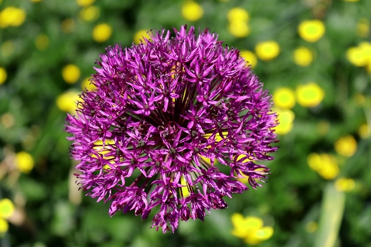 Bulbi Da Fiore Autunnali - Allium