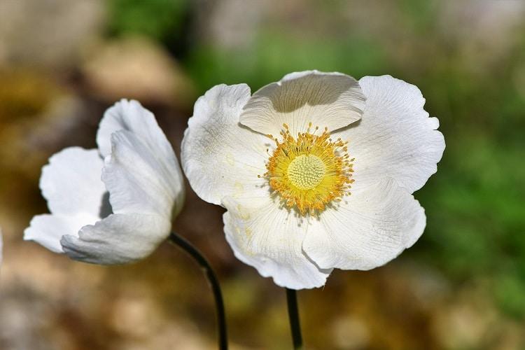 Bulbi Da Fiore Autunnali - Anemoni