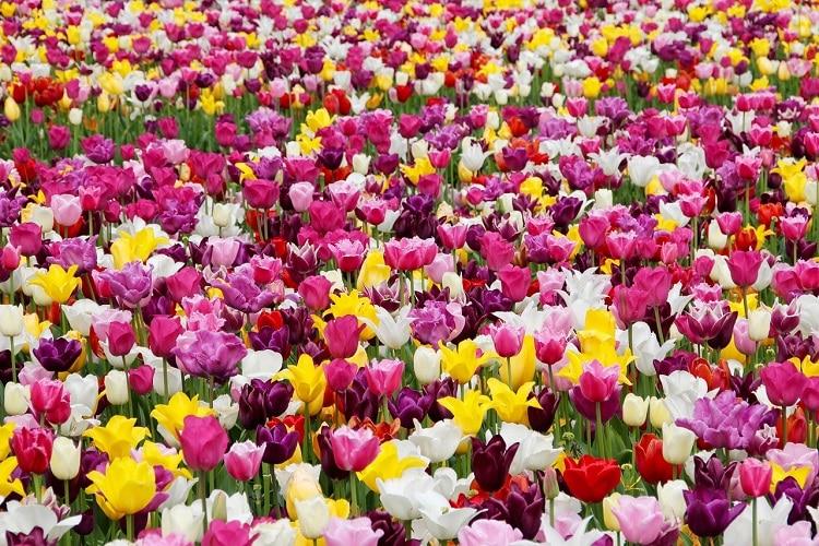 Bulbi Da Fiore Autunnali - Tulipani