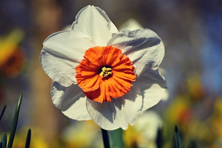 Coltivare I Narcisi