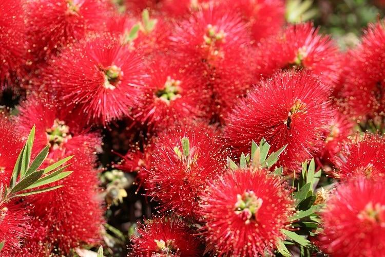 Giardino Colorato Di Rosso - Callistemon