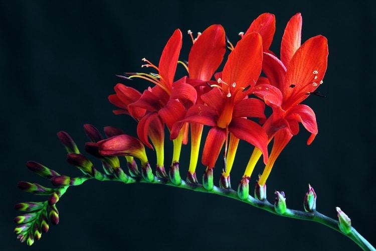 Giardino Colorato Di Rosso - Crocosmia