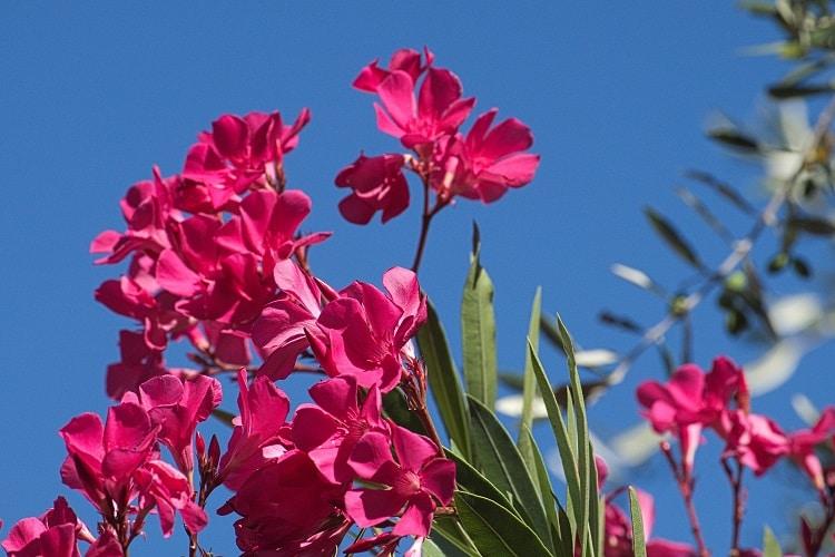 Giardino Colorato Di Rosso - Oleandro
