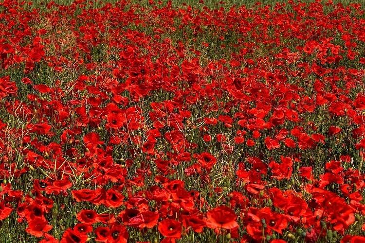Giardino Colorato Di Rosso - Papavero