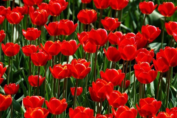 Giardino Colorato Di Rosso - Tulipano