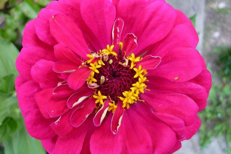 Giardino Colorato Di Rosso - Zinnia