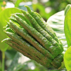 Concimare Gli Agrumi Ornamentali - Citrus Medica Sarcodactylus
