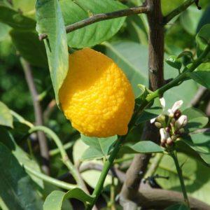 Concimare Gli Agrumi Ornamentali - Limone