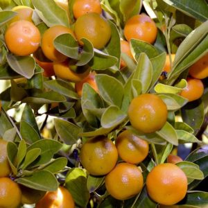 Concimare Gli Agrumi Ornamentali - Mandarino