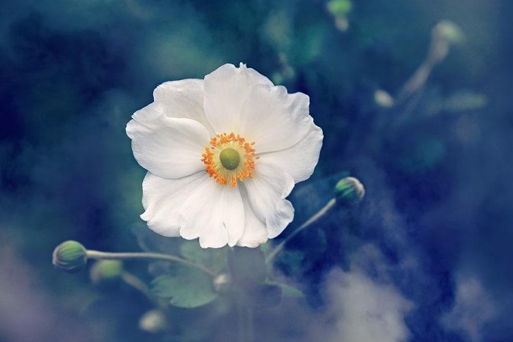 Piante Per Un Balcone Ombreggiato - Anemone