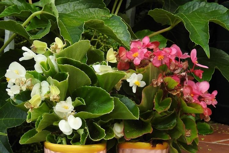 Piante Per Un Balcone Ombreggiato - Begonia
