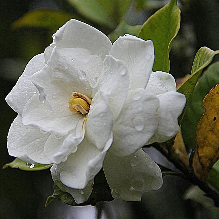 Piante Per Un Balcone Ombreggiato - Gardenia