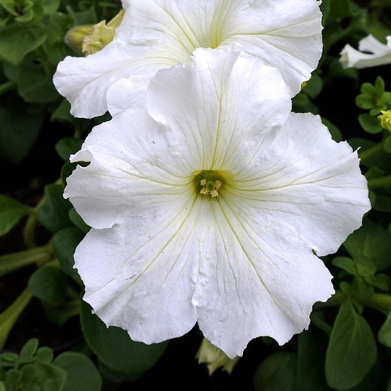 Piante Per Un Giardino Notturno - Petunia