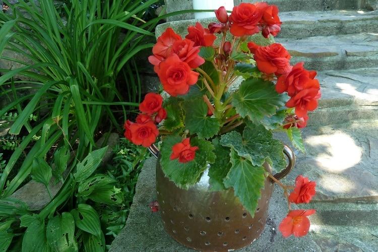 Piante adatte ai piccoli vasi - Begonia