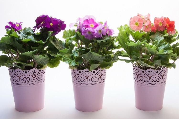 Piante adatte ai piccoli vasi - Primule