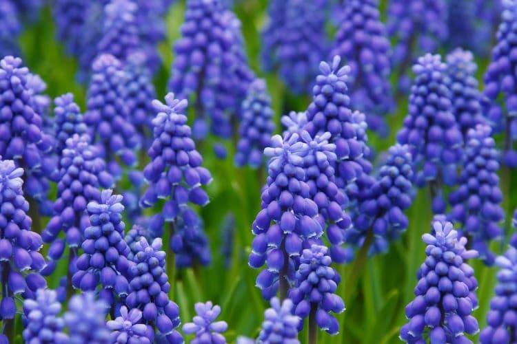 Fiori Di Colore Azzurro Muscari