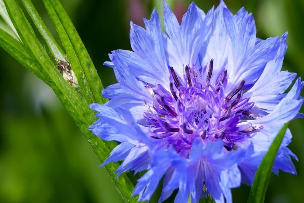 fiori di colore azzurro