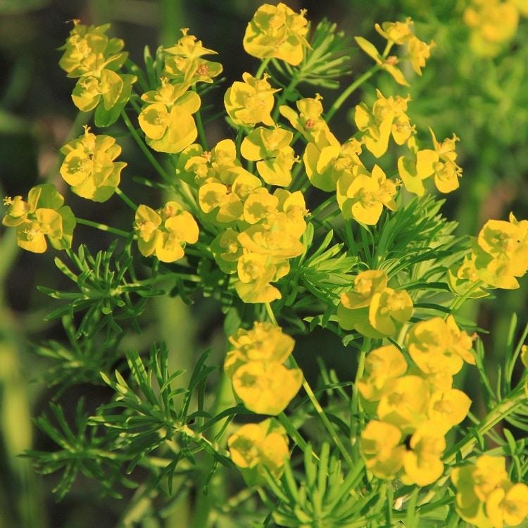 COLTIVARE LA EUPHORBIA - Euphorbia Cyparissias