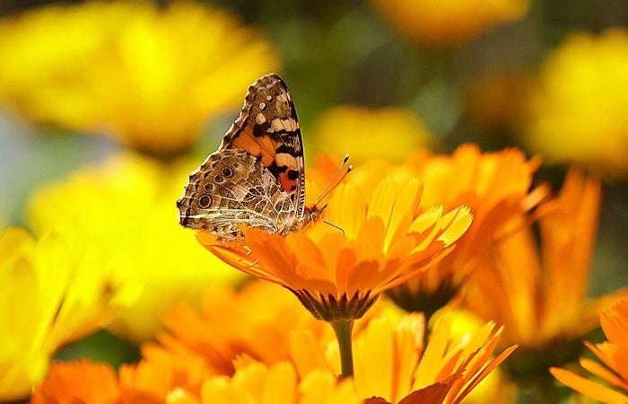 Piante che attirano le api e le farfalle - Calendula