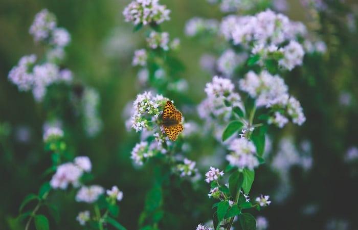 Piante che attirano le api e le farfalle - Origano